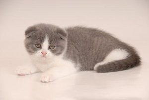 Gato scottish fold cachorro